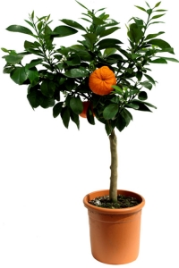 Exemplary citrus fruit trees