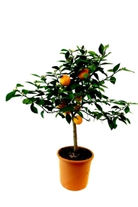 Historical and new citrus fruit trees collection