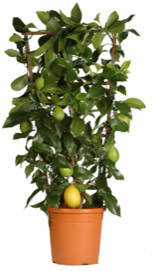Shaped citrus fruit trees