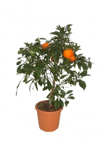 "Bitter""Willow"" shaped Orange"